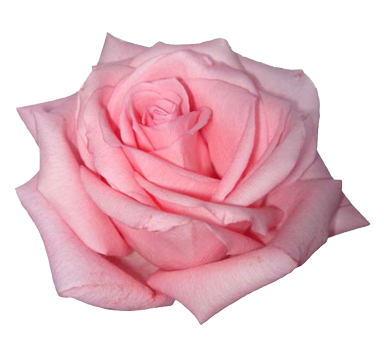 picture of a pink rose